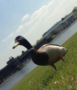Ey Up Mi Duck