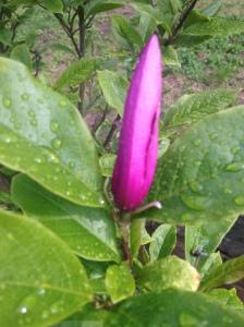 Magnolian Misery