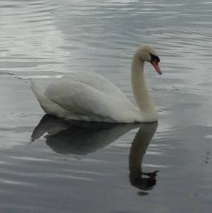 Swan In The Mirror