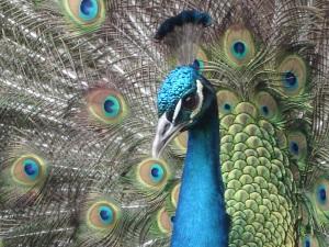Head_Peacock